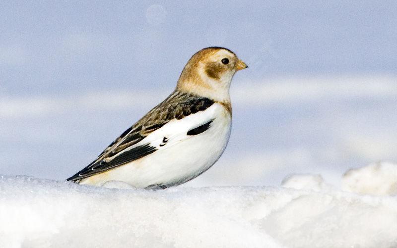 bruant.des.neiges.rabi.1g