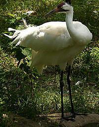 Grue blanche