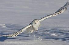 Harfang des neiges