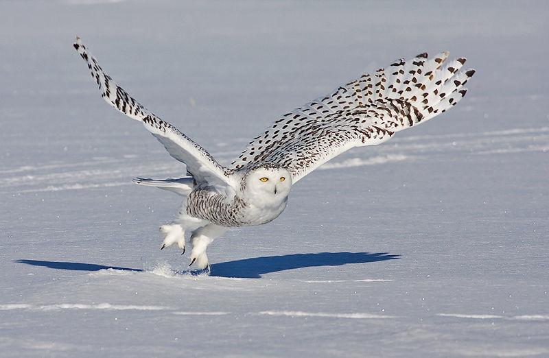 Superbes images d'un harfang des neiges sur l'A 40