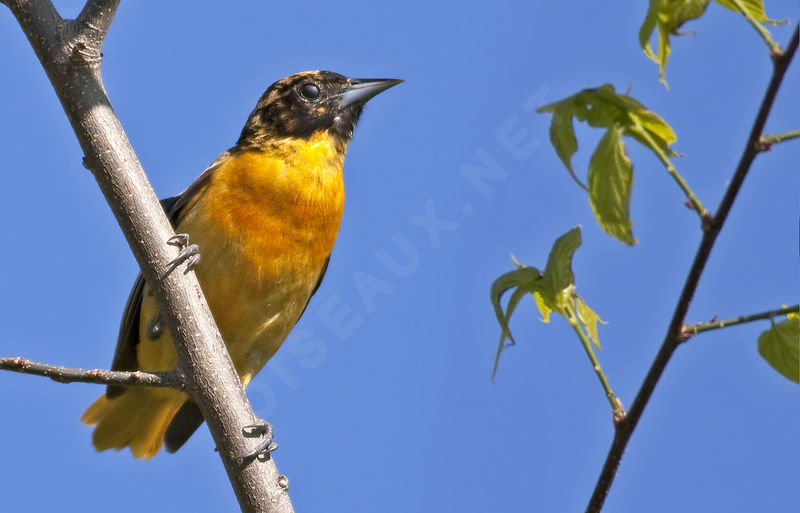 Oriole du Nord , identification, Comportement