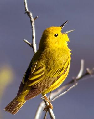 Paruline jaune