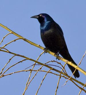 Quiscale bronz photos for Oiseau tete noire