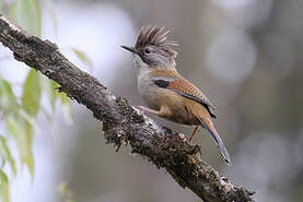 Actinodure du Népal