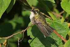 Colibri d'Abeillé