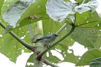 Conirostre marguerite