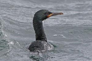 Cormoran des Auckland