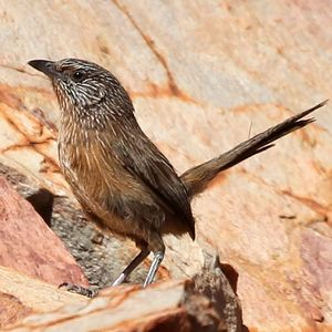 https://www.oiseaux.net/photos/raphael.jordan/images/id/amytis.de.purnell.rajo.1p.jpg