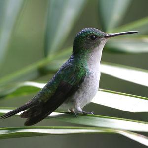Colibri de Julie
