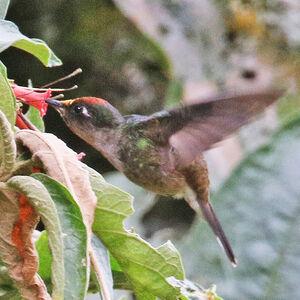 Colibri du Tolima