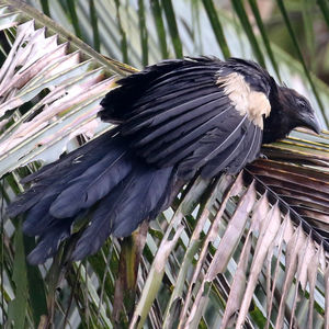 Coucal goliath