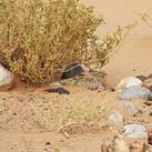 Engoulevent du désert
