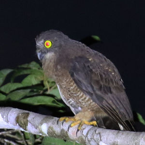 Ninoxe d'Halmahera