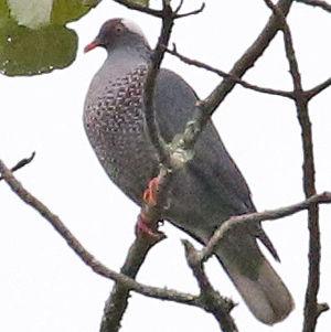 Pigeon à nuque blanche