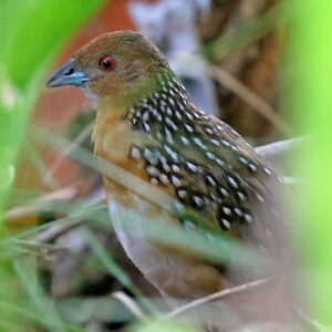 Râle ocellé