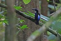 Martin-chasseur bleu-noir
