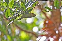 Méliphage olivâtre