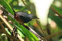 Mérulaxe de Bahia