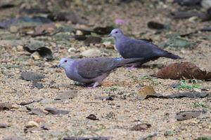 Pigeon de Goodson