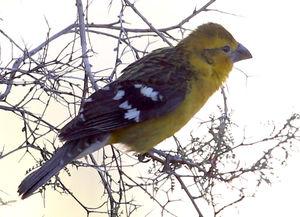 Cardinal à tête jaune