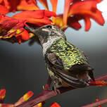 Colibri d'Anna