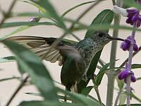 Colibri grivelé