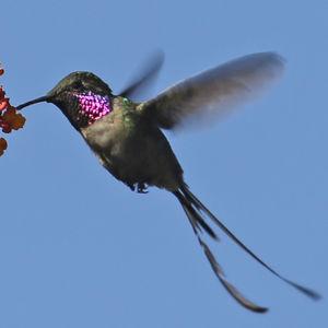 Colibri cora