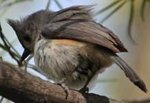 Mésange bicolore