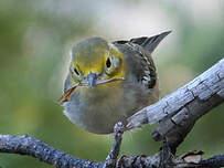 Paruline à tête jaune