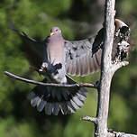 Pigeon à queue barrée