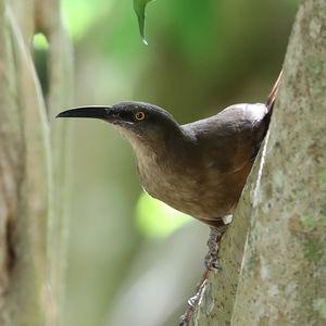 Trembleur brun