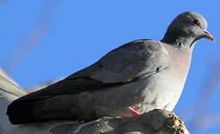 Pigeon colombin