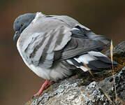 Pigeon des neiges