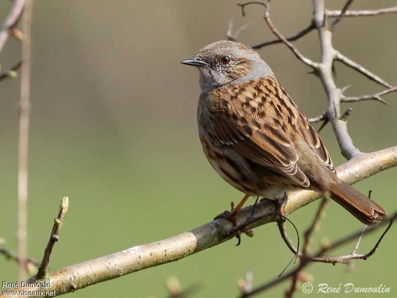 Dunnock adult, identification