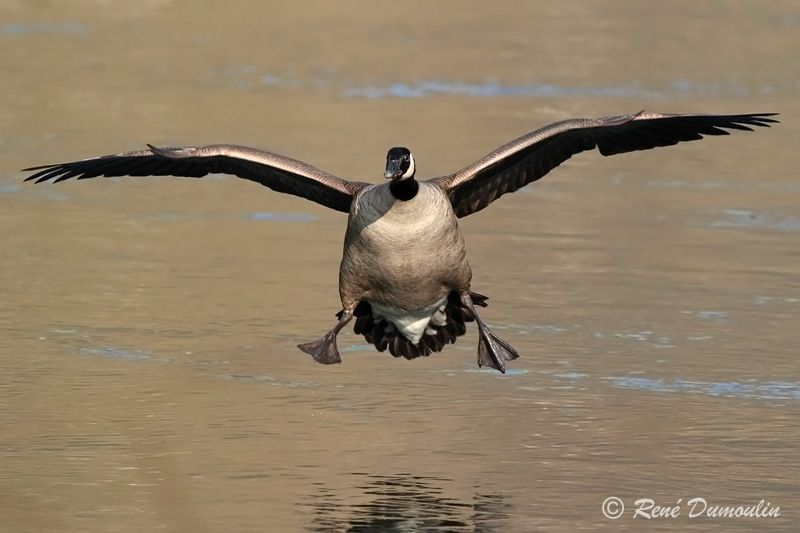 Canada Goose adult, identification, Flight