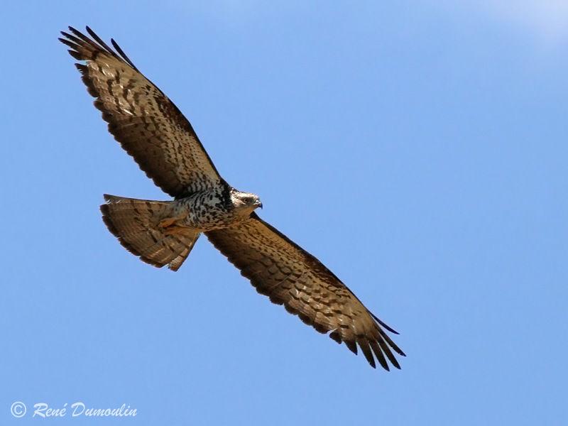 Devines le nom de l'oiseau (Europe) Bondree.apivore.redu.1g