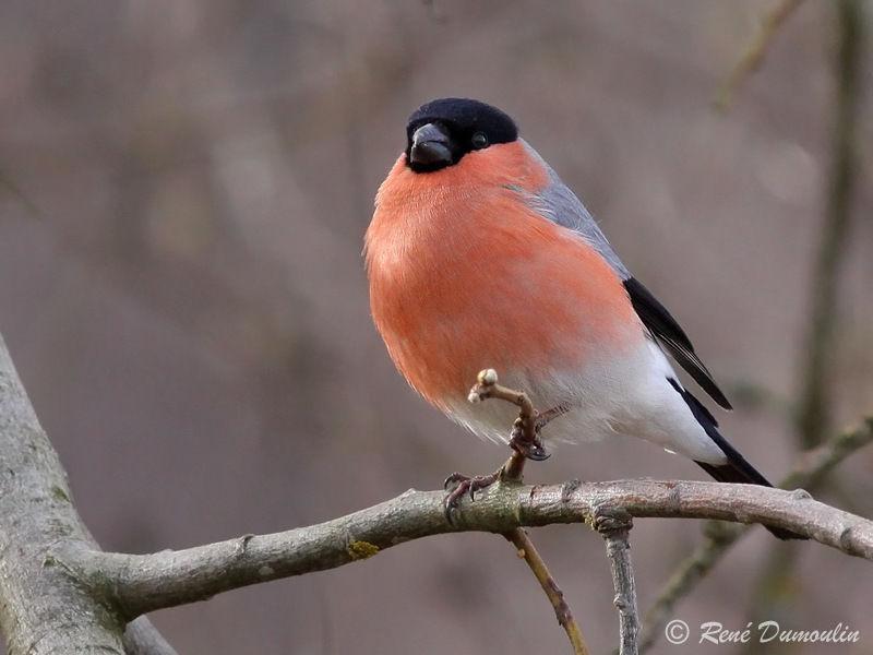 Bouvreuil pivoine m le adulte ref redu81624 for Oiseaux des jardins belgique