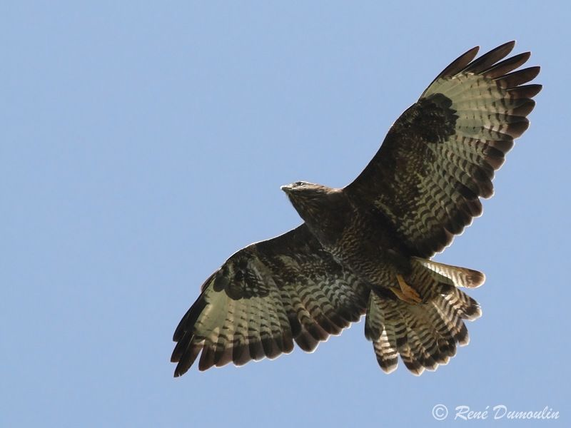 Buse variable adulte, identification, Vol