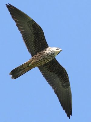 Faucon d'Éléonore