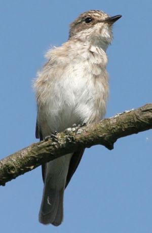 Gobemouche gris