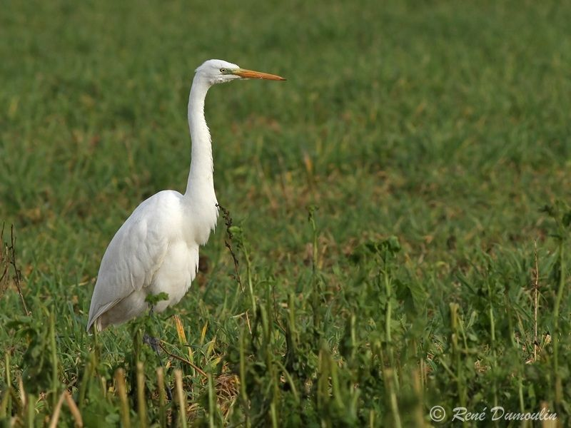 Grande Aigrette , identification