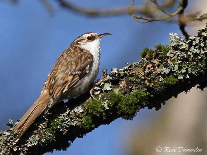 Grimpereau des bois ref redu116496 for Oiseau marron