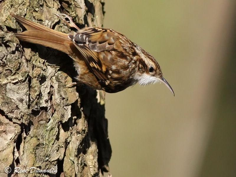Grimpereau des jardins adulte ref redu80044 for Liste oiseaux des jardins