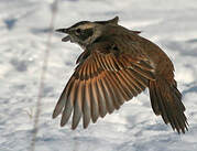 Grive à ailes rousses
