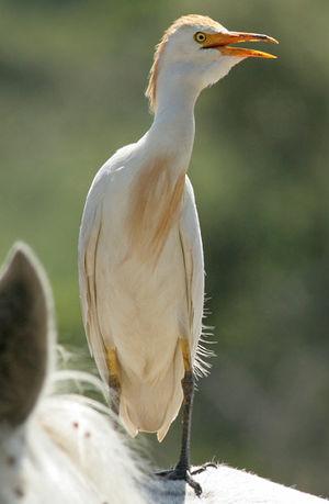 Héron garde-boeufs