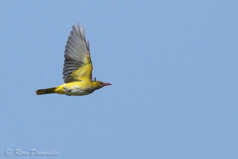 Identification oiseaux Loriot.d.europe.redu.9g