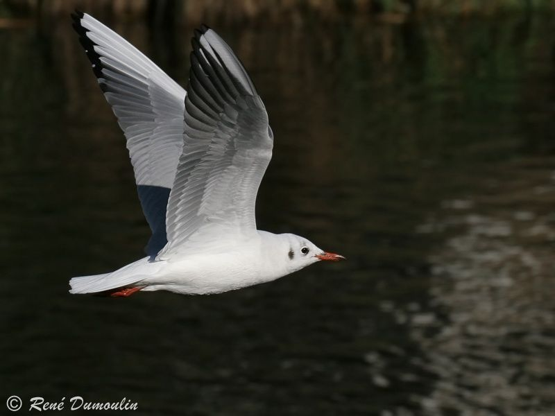 Mouette rieuse adulte