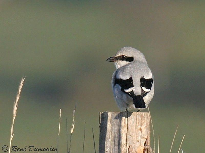 Pie gri che grise adulte ref redu29556 for Oiseau noir et gris