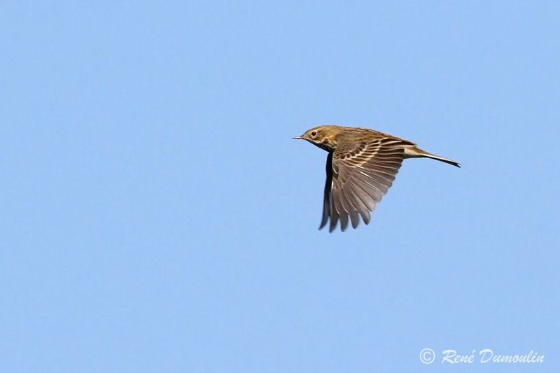 Pipit farlouse , identification, Vol