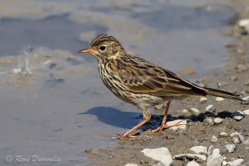 Pipit farlouse adulte, identification